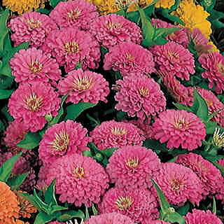 Dreamland Rose Hybrid Zinnia Seeds