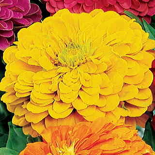 Parks Picks Yellow Zinnia Seeds