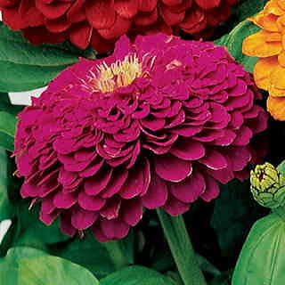 Parks Picks Purple Zinnia Seeds