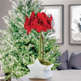 Starry Night Red Lion Amaryllis Gift