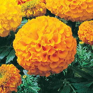 Antigua Gold Hybrid Marigold Seeds