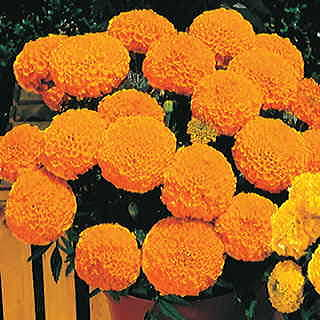 Antigua Orange Hybrid Marigold Seeds
