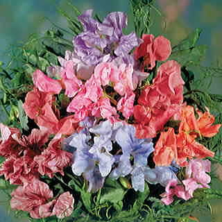 Steamer Mix Sweet Pea Seeds