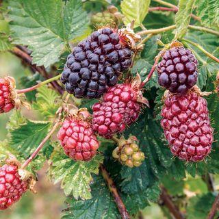 Thornless Boysenberry