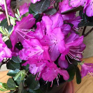 Rhododendron P.J.M. Elite Star