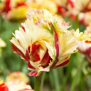 Parrot Tulip Texas Flame