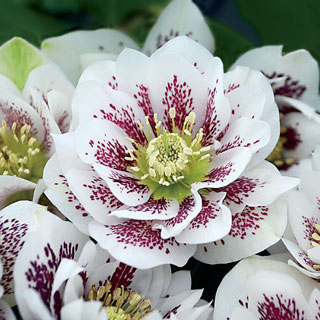 Helleborus Wedding Party™ Confetti Cake