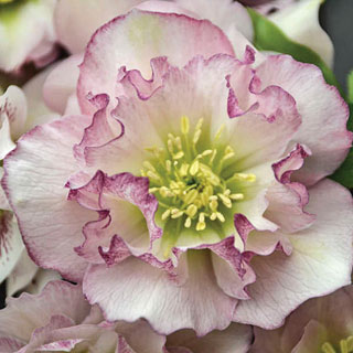 Helleborus Wedding Party™ Flower Girl