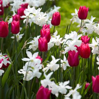 Spring Wonder Bulb Mix (pack of 15)