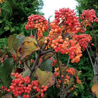 Viburnum Tandoori Orange®