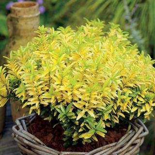 Euonymus Happiness PP#21,823