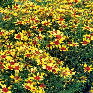 Firefly Coreopsis