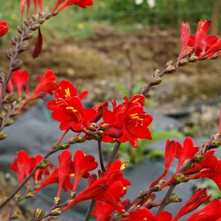 Nova™ Dragonfire Crocosmia