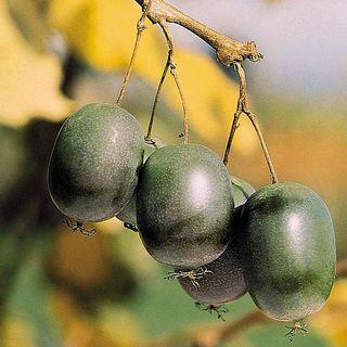 Kiwi Actinidia arguta Issai