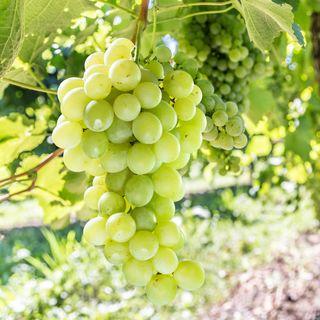 Grape Vitis labrusca Himrod