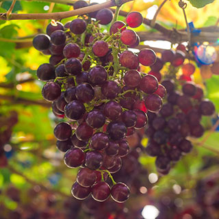Grape Vitis Suffolk Red