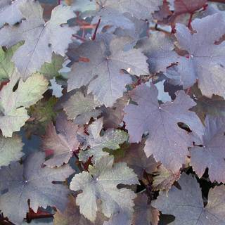 Purple-leaf Grapevine