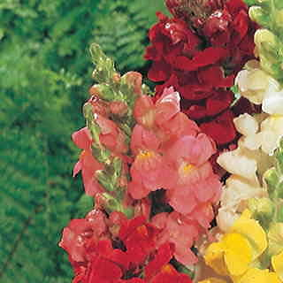 Rocket Pink Hybrid Snapdragon Seeds