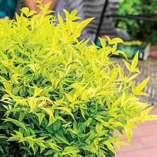 Nandina Lemon-Lime