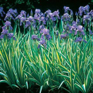 Iris Dalmatian