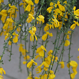 Sister Golden Hair® Scotch Broom