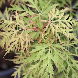 Acer palmatum Lemon Lime Lace