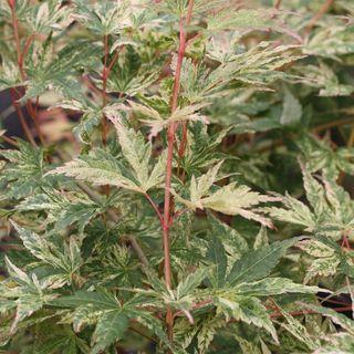 Acer palmatum Radiant™