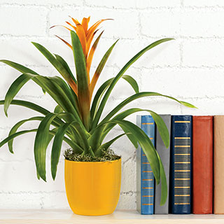 Orange Bromeliad in Yellow Ceramic