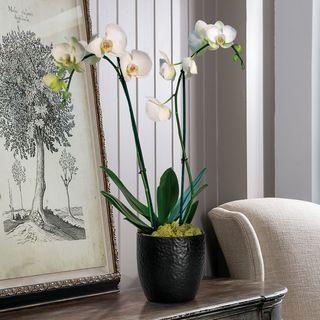 Double White Phalaenopsis in black Ceramic