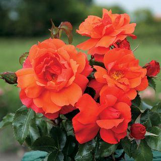 Sierra Lady™  Floribunda Rose