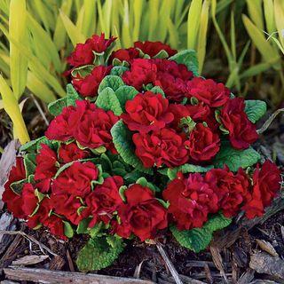 Primula Belarina® Valentine