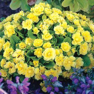 Primula Belarina® Buttercup