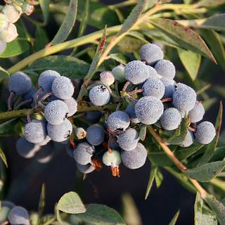 MINI Blues Blueberry