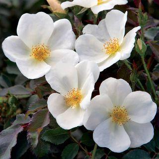 White Knock Out® Shrub Rose