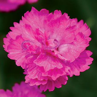 Dianthus Mountain Frost™ Pink PomPom