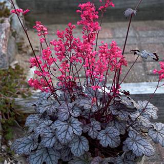 Heuchera Timeless Treasure