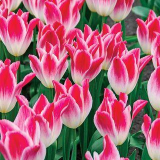 Tulip Whispering Dream