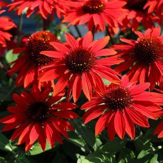 Echinacea Sombrero® Sangrita Red