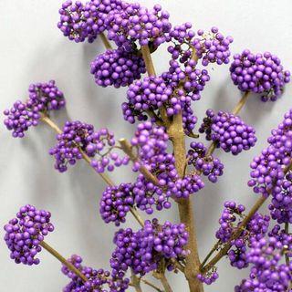 Callicarpa Plump and Plentiful™ Lilac