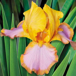 Iris Brown Lasso