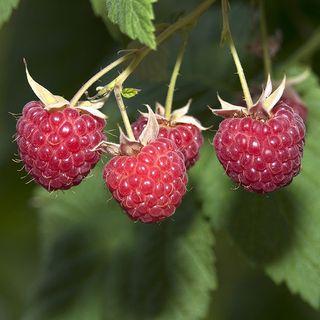 Raspberry Glencoe