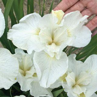 Iris Swans in Flight