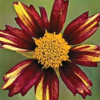 Coreopsis Big Bang™ Redshift