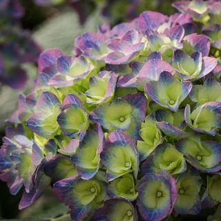 Hydrangea macrophylla Cityline® Rio