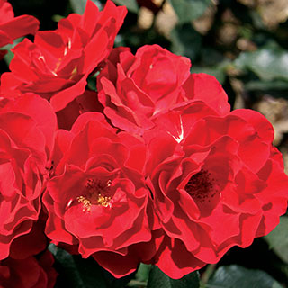 Double Knock Out® 36-Inch Tree Rose
