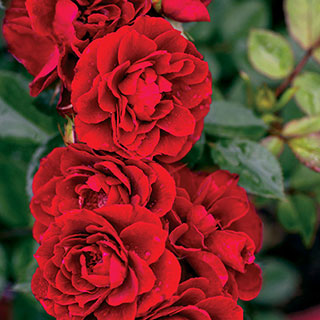 Red Sunblaze® 18 inch Tree Rose