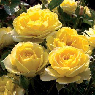 Yellow Sunblaze® Miniature Rose