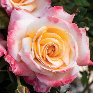 Nora Virginia Hybrid Tea Rose