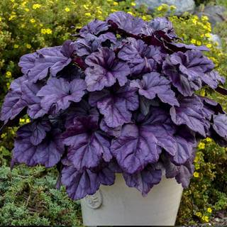 Heuchera Dolce® Wildberry