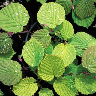 Corylopsis Aurea
